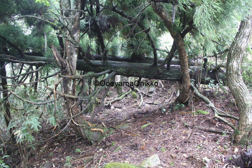 赤岩山倒木